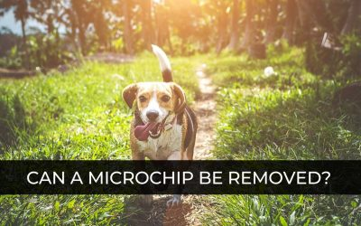 Can a Microchip be Removed from a Dog? – Dog Safety